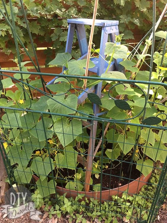 Blue wood ladder inside a fence with green vines growing up it.