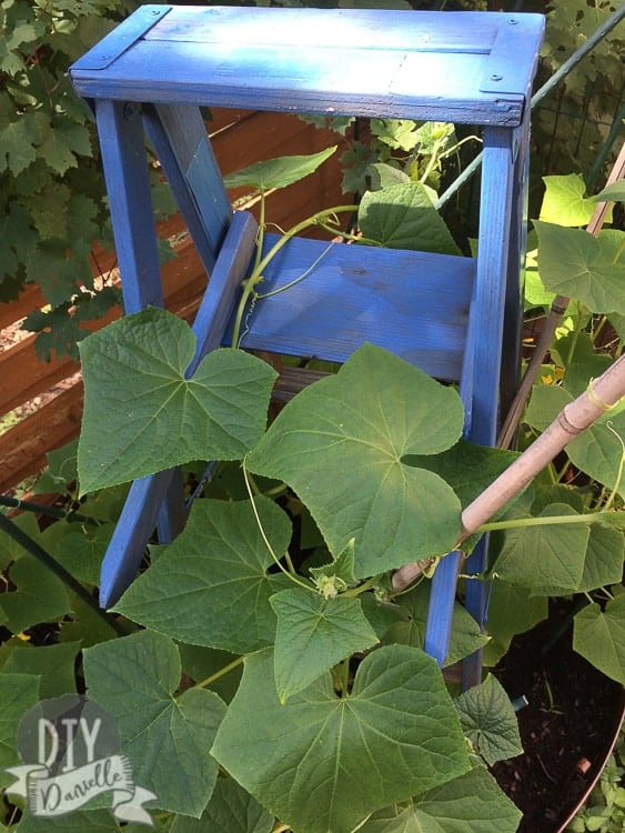Close up photo of cucumber leaves on a ladder trellis.