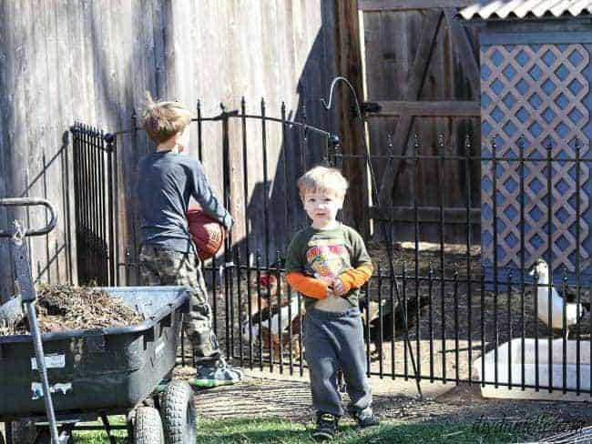 Another use of the no dig fencing panels was around our duck pen. Here are the kids helping with chores.