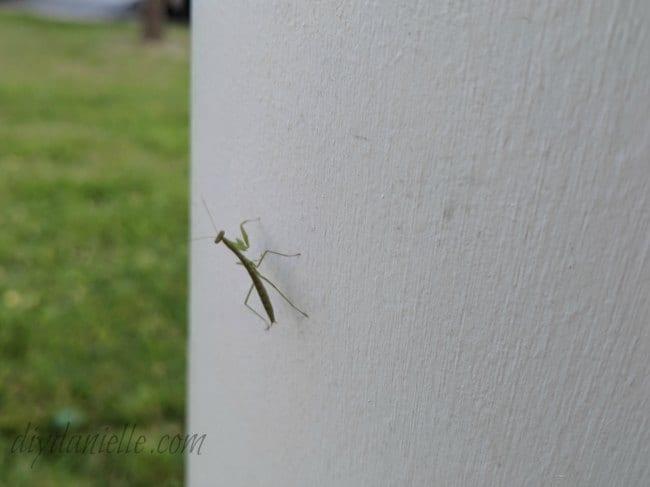 Baby praying mantis in the garden.