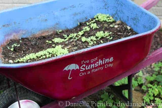 An old upcycled wheelbarrow growing lettuce.