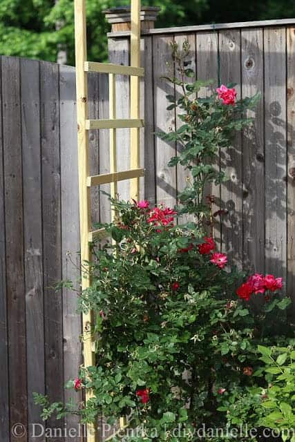Knockout roses growing up a trellis.