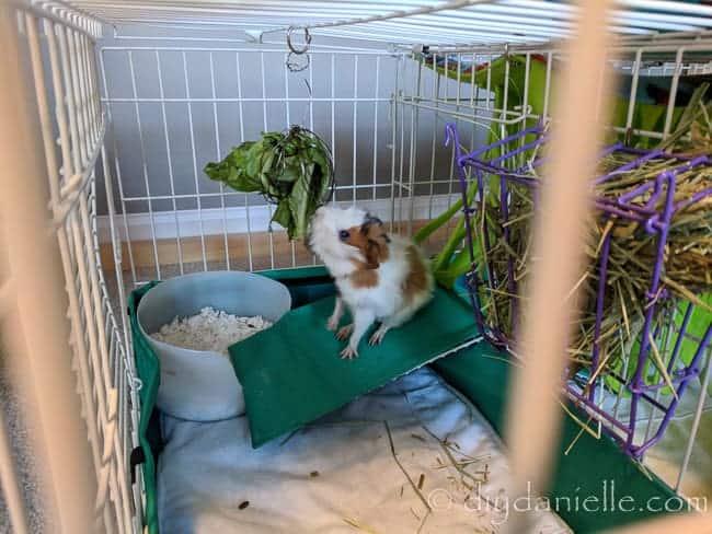 litter box guinea pig