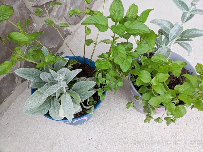 Planters with lambs ear and mint given as a gift.
