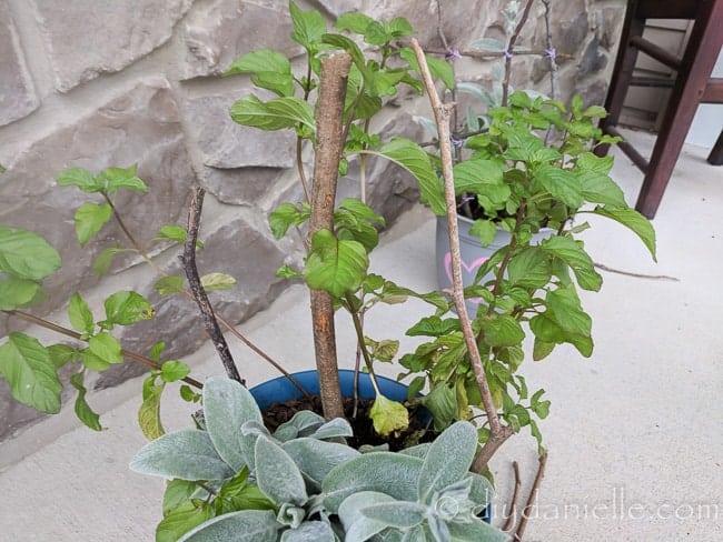 Three sticks in a planter to start the trellis.