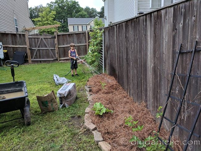 Watering down pine straw after spreading. Learn how to use pine straw as mulch!
