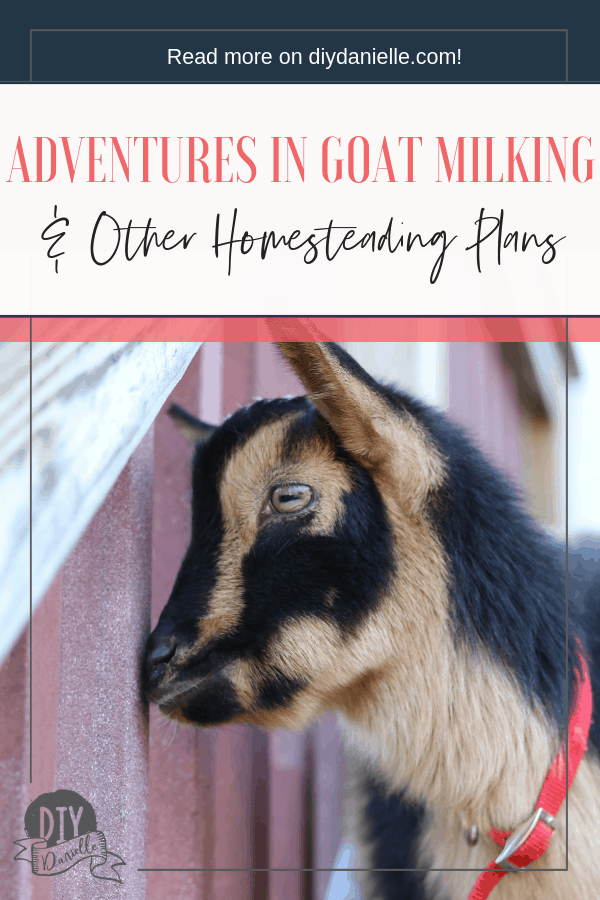 Experiences with goat milking for the first week as well as other plans for the homestead and gardens.