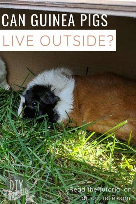An in-depth look at the risks and benefits of keeping guinea pigs outside. Can guinea pigs live outdoors?