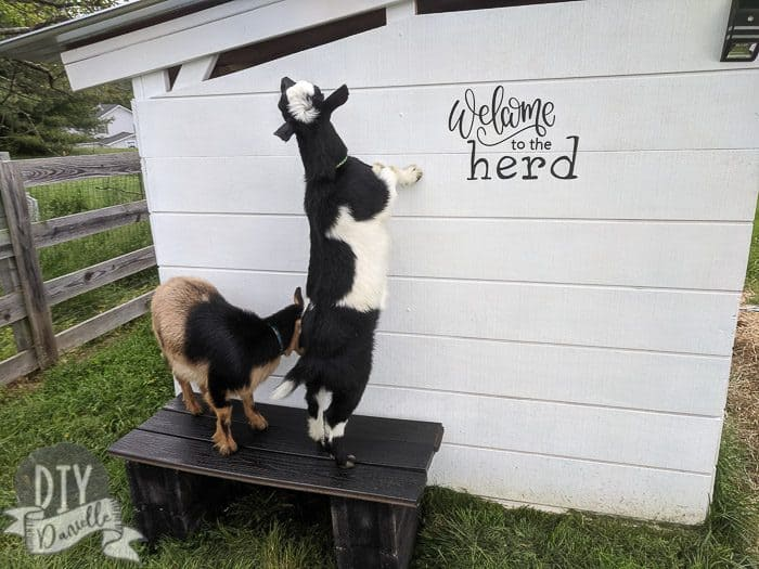The goats checking out their new bench and goat house sign.