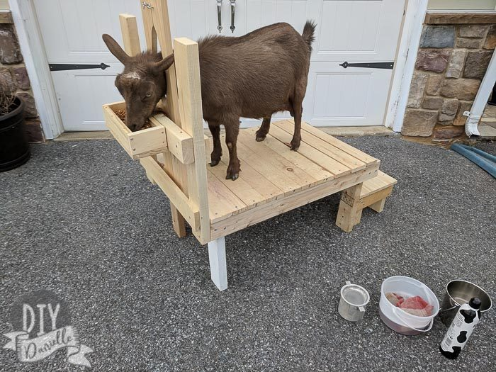 Wondrous How To Make A Milking Stand For Nigerian Dwarf Goats Diy Ocoug Best Dining Table And Chair Ideas Images Ocougorg