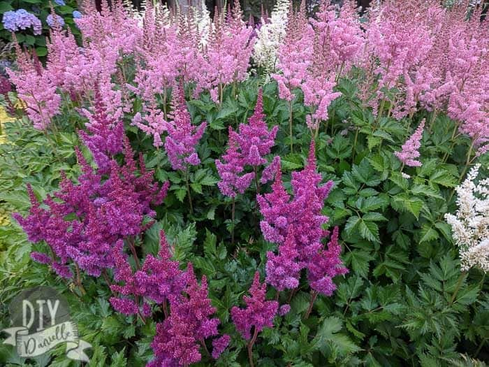 Astilbes growing at a local village center. These were HUGE and I love the variety of colors!