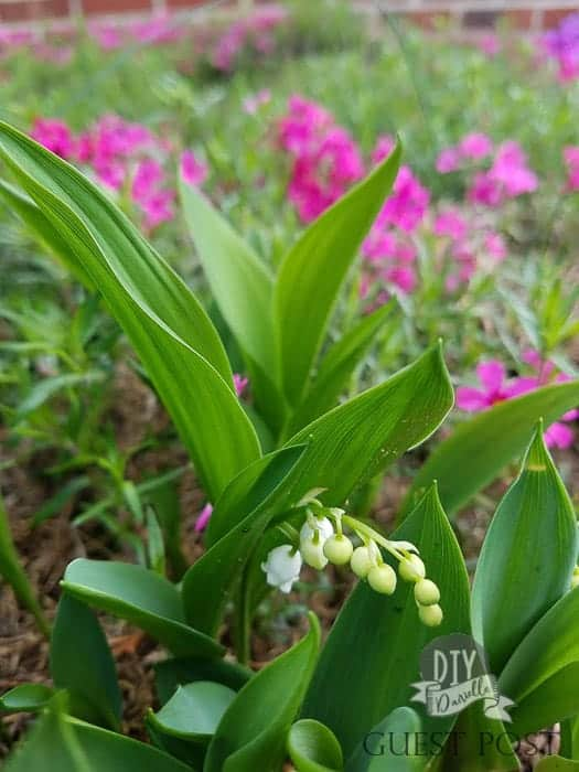Lily of the valley will grow in shade.