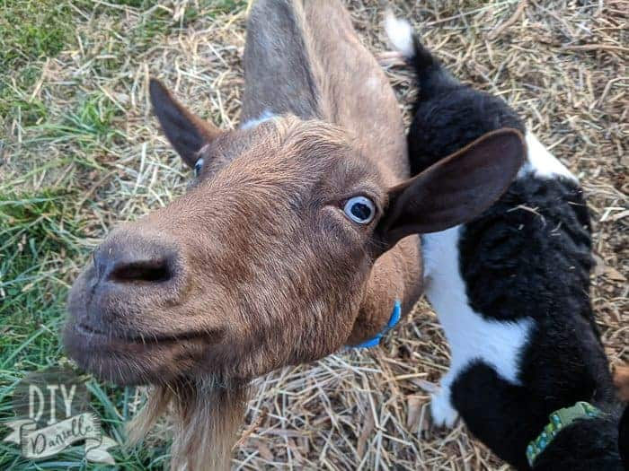 Nigerian Dwarf goat with blue eyes and nose up to camera.