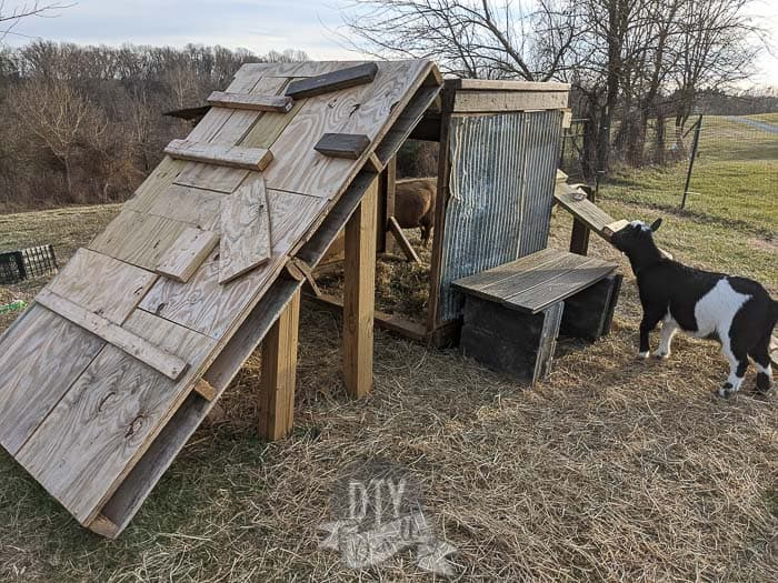 Bench and pallet ramp for playground. Nigerian Dwarf goat in image.