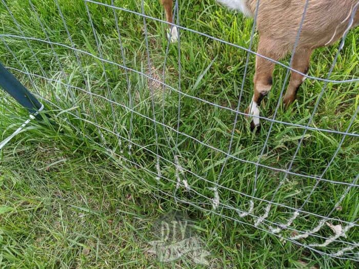 Broken welded wire fencing from my goats rubbing up on it.