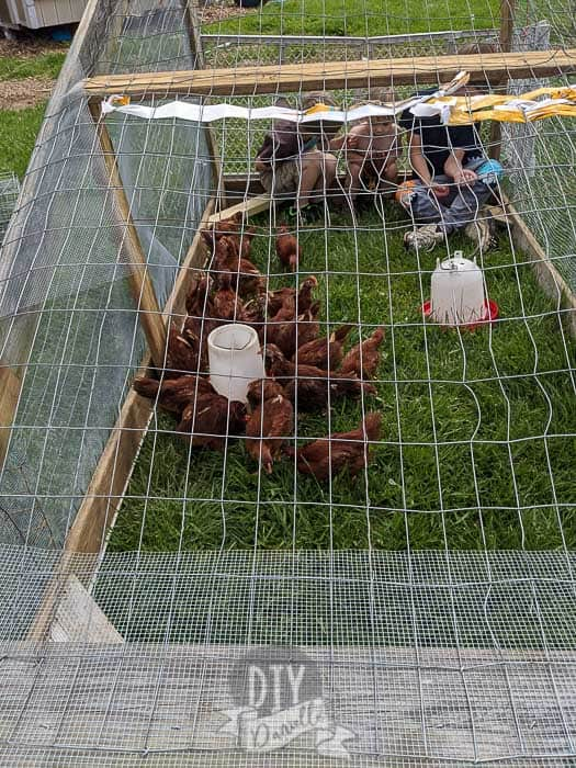 Our meat chicks and kids sitting in the chicken tractor.