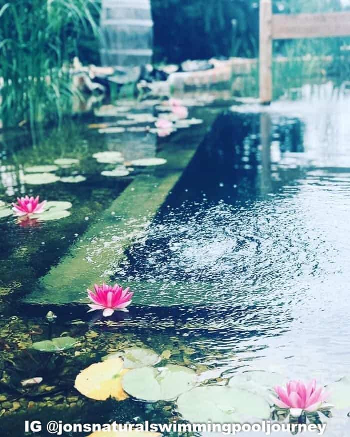 Lilies in the DIY natural swimming pond.