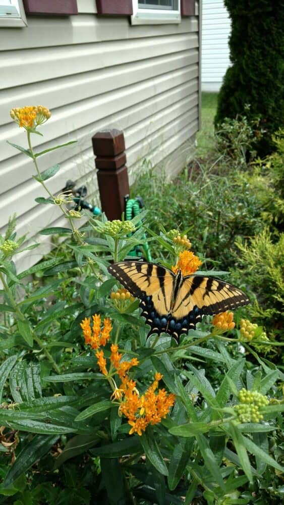 Here's a butterfly on an orange milkweed plant at our last home. Milkweed is an easy to grow outside plant, but prone to aphids.