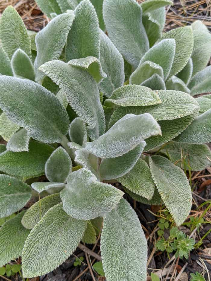 Lamb's Ear early in the season before the flowers bloom.