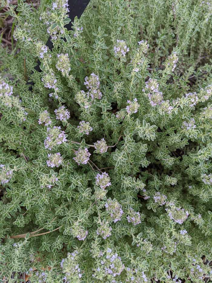 Thyme plants with subtle purple flowers between green and white leaves.
