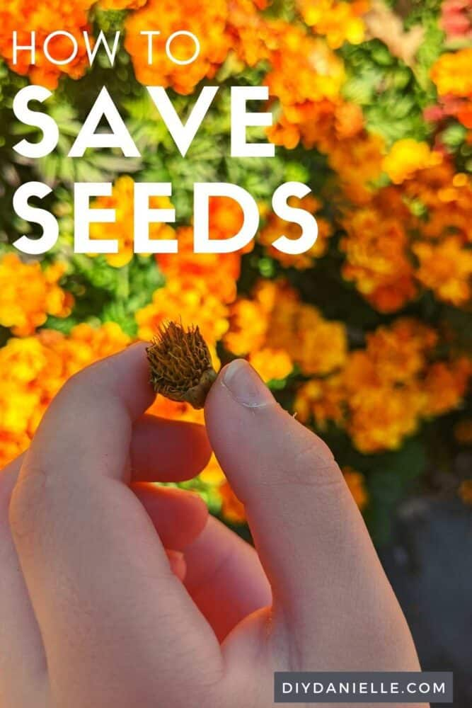 How to save seeds from your garden. Photo of my son holding the head of a marigold flower, ready to harvest the seeds.