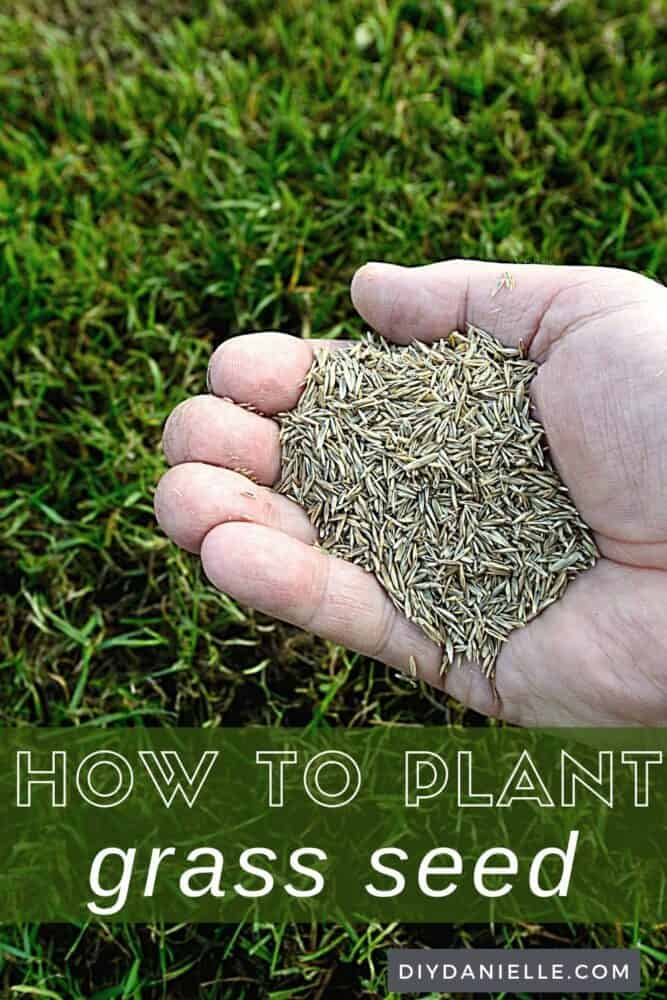 How to Plant Grass Seed: Photo of a handful of grass seed with a lawn in background.