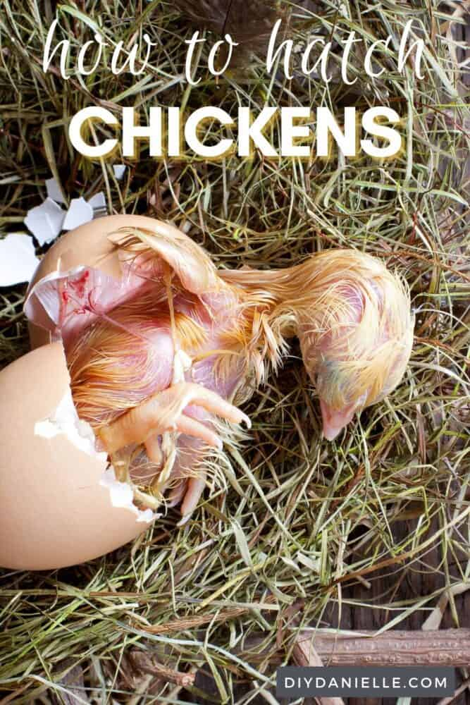 How to hatch chickens: photo of a hatched chick and egg in straw.