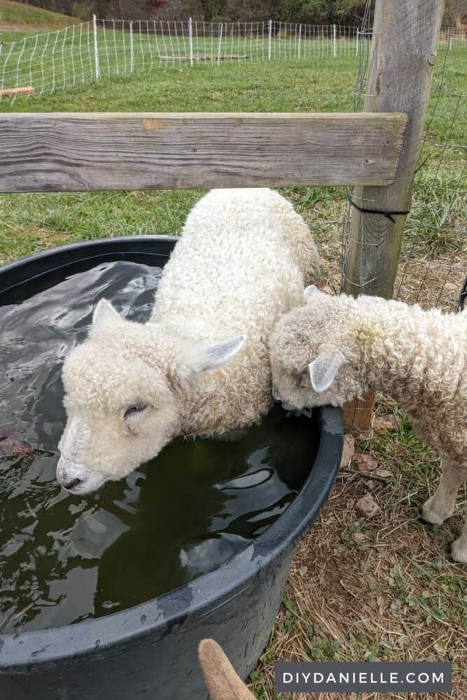 Sheep in a water trough... she decided to try to swim her way to the other field. The grass is always greener?