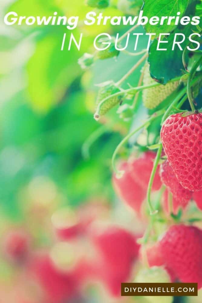 Photo of green and red ripe strawberries hanging down. Text: Growing Strawberries in Gutters