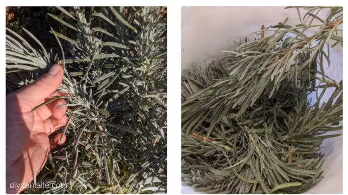 The left photo shows a picture of the lavender stem. As you get closer to the ground, the stem gets woody. You want to cut above that area.